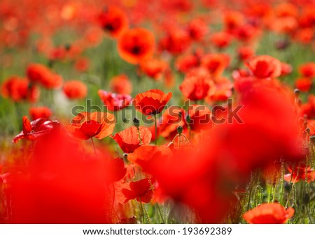 close up of a wild poppies field-shallow DOF - stock photo