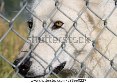 Close up of a Wolf in a Sanctuary
