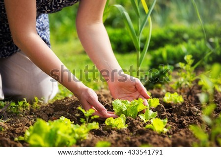Close-up of a woman hands gardening lettuce.