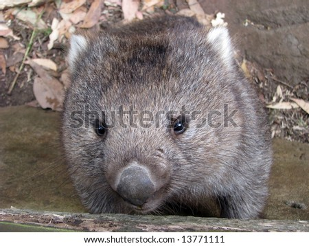 close up of a wombat