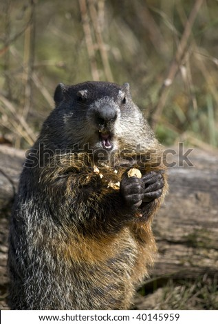 Close up of a woodchuck eating a peanut. The groundhog (Marmota monax), also known as a woodchuck or whistle-pig, or in some areas as a land-beaver is a rodent of the family - stock photo