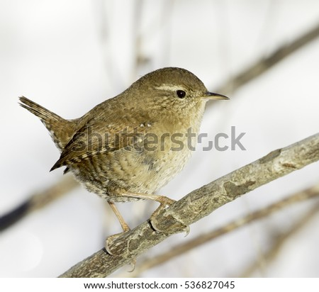 Close up of a Wren / Troglodytes troglodytes