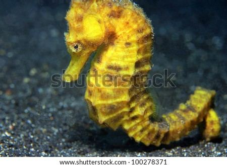 Close-up of a Yellow Common Seahorse (Hippocampus Taeniopterus), Lembeh Strait, Indonesia - stock photo