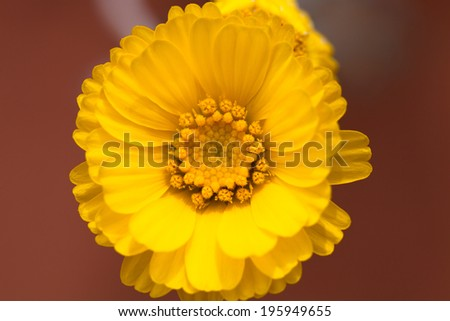 Close up of a yellow desert flower - stock photo