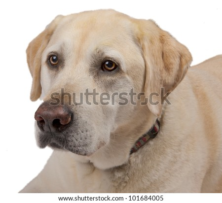 Close up of a  Yellow Labrador Retriever isolated on white background - stock photo