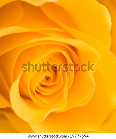 Close up of a yellow rose - stock photo