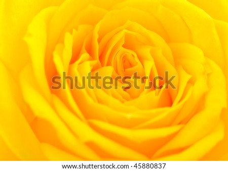 Close up of a yellow rose