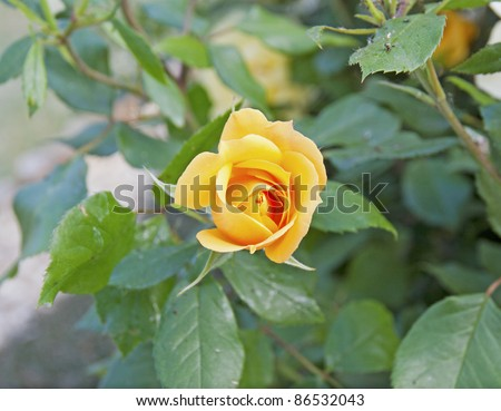 Close up of a yellow rose in a garden