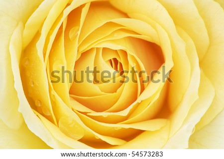 Close-up of a yellow rose with raindrops revealing its patterns, textures, and details - stock photo