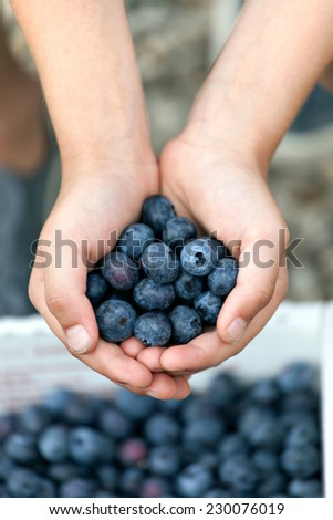 Close up of a young boys hands holding a bunch of fresh picked blueberries. Shallow depth of field. - stock photo