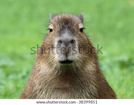 close-up of a young capybara - stock photo