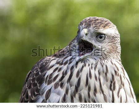 Close up of a young, female Northern Goshawk. - stock photo