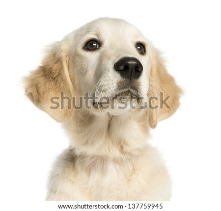 Close-up of a Young Golden Retriever, 5 months old, isolated on white - stock photo