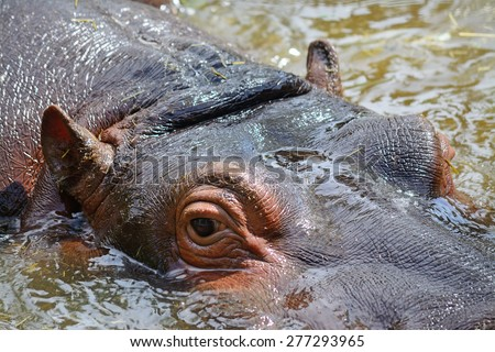 close up of a young hippopotamus in the water