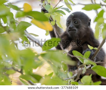Close up of a young howler monkey sitting in a tree - stock photo