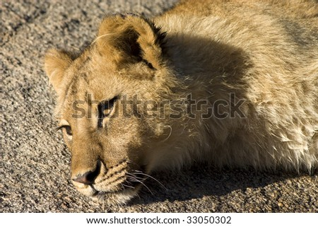 Close up of a young lion resting on a rock