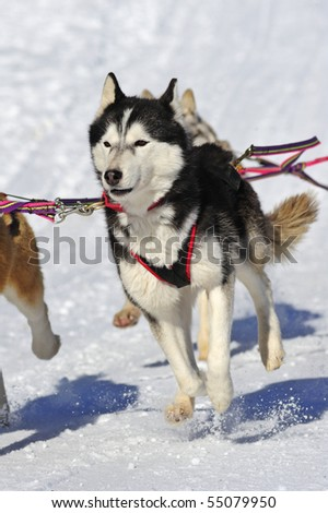 Close up of a young Malamute sled dog in a team, pulling a sled, the snow flying - stock photo