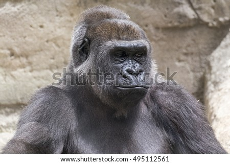 close-up of a young male gorilla back silver sitting