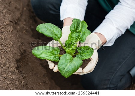 Close-up of a young researcher technician woman hands in greenhouse,in uniform, holding a spinach plant and soil . Bio food production.  - stock photo