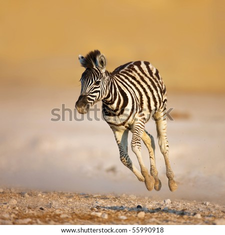 Close-up of a young zebra running on rocky plains of Etosha - stock photo