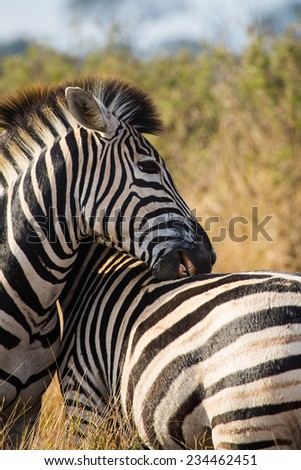 Close up of a zebra, Equus quagga, biting the back of another zebra in the Kruger National Park, South Africa. - stock photo