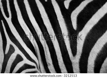 close-up of a zebra skin. - stock photo