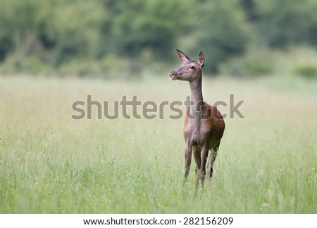 Close up of afraid hind standing in high grass - stock photo