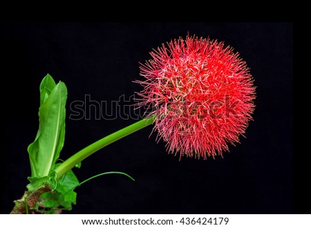 Close up of African blood lily or fireball lily blossom on black background - stock photo