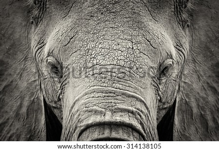 Close-up of African Elephant (Loxodonta africana). Kenya, Africa - stock photo