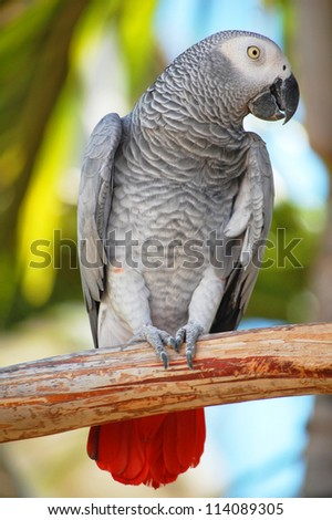 close up of african grey parrot with out of focus foliage background - stock photo