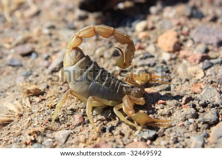 Close up of aggressive scorpion on the ground - stock photo