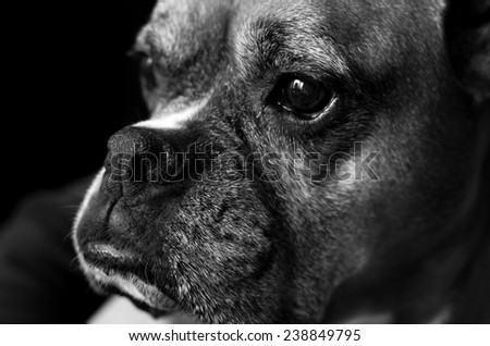 Close-up of aging boxer, female dog.