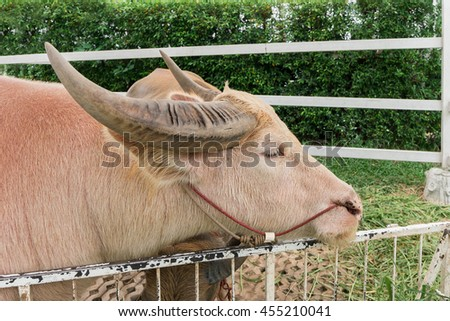 Close up of Albino buffalo (White Pink buffalo) - stock photo