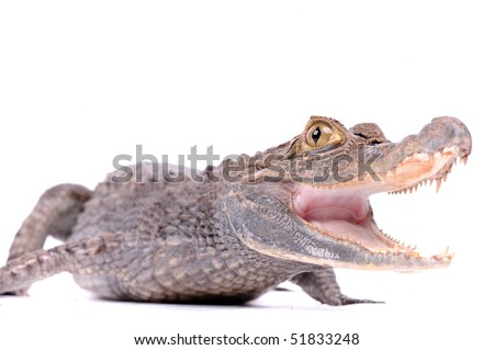close-up of alligator on the white background - stock photo