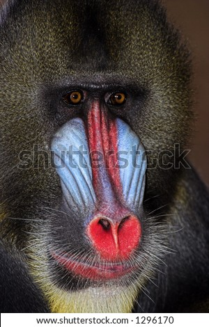 Close up of Alpha male Mandrill - stock photo