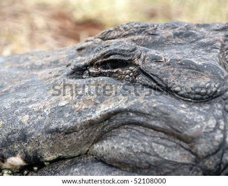 Close up of American Alligator with focus on the eye - stock photo