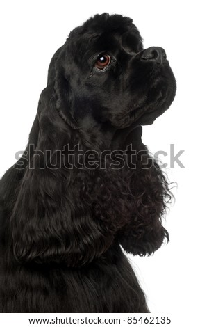 Close-up of American Cocker Spaniel, 1 year old, in front of white background - stock photo