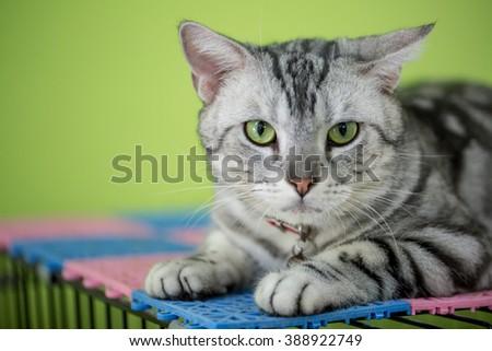 Close up of American shot hair cat - stock photo