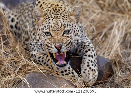 Close up of an adult African Leopard - stock photo