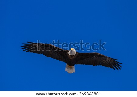close up of an adult American Bald Eagle flying over a beautiful blue sky - stock photo