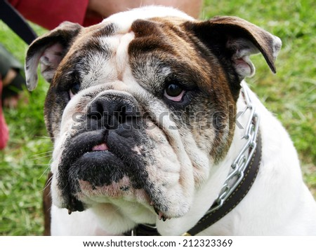 close-up of an adult bull dog