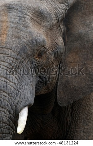 Close up of an African Elephant - stock photo