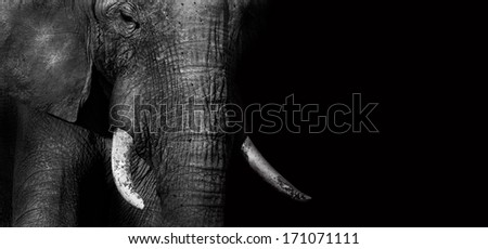Close up of an African elephant in black and white