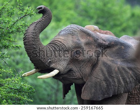 Close up of an African Elephant (Loxodonta africana) in the Amakhala Game Reserve, Eastern Cape, South Africa.