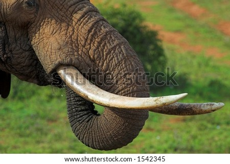 Close up of an African Elephant's tusks and trunk, while its drinking - stock photo