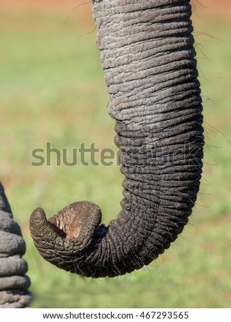 Close up of an African elephant trunk showing it's prehensile tip