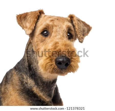 Close up of an Airedale Terriers looking at camera against white background - stock photo
