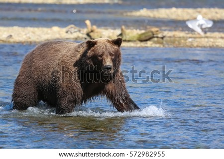 Close up of an Alaskan brown bear (grizzly bear) fishing for Sockeye salmon, seagulls in the background, Moraine Creek, Katmai National Park, Alaska