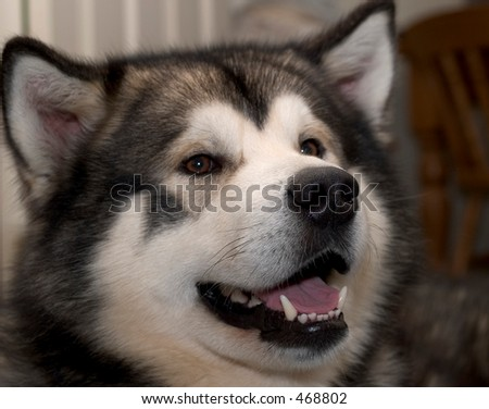 Close up of an alaskan malamute dog - stock photo