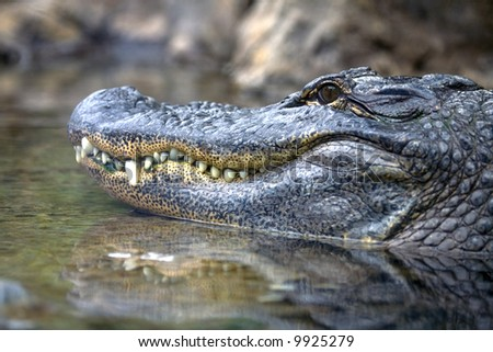 Close-up of an alligator's head - stock photo